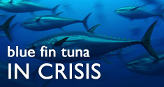 Blue tuna in crisis